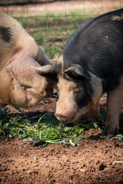 Gloucestershire Old Spots and Berkshire sows