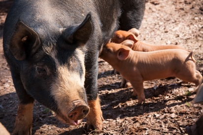Berkshire sow