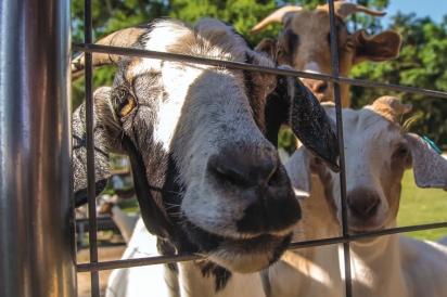 Lambs at Old McCaskill's Farm in Camden, SC