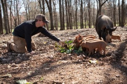 feeding the piglets